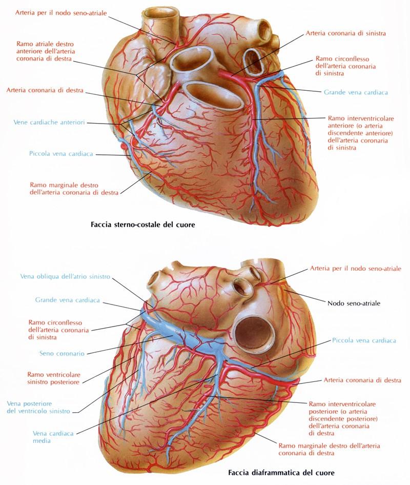 Seno coronario - Medicinapertutti.it