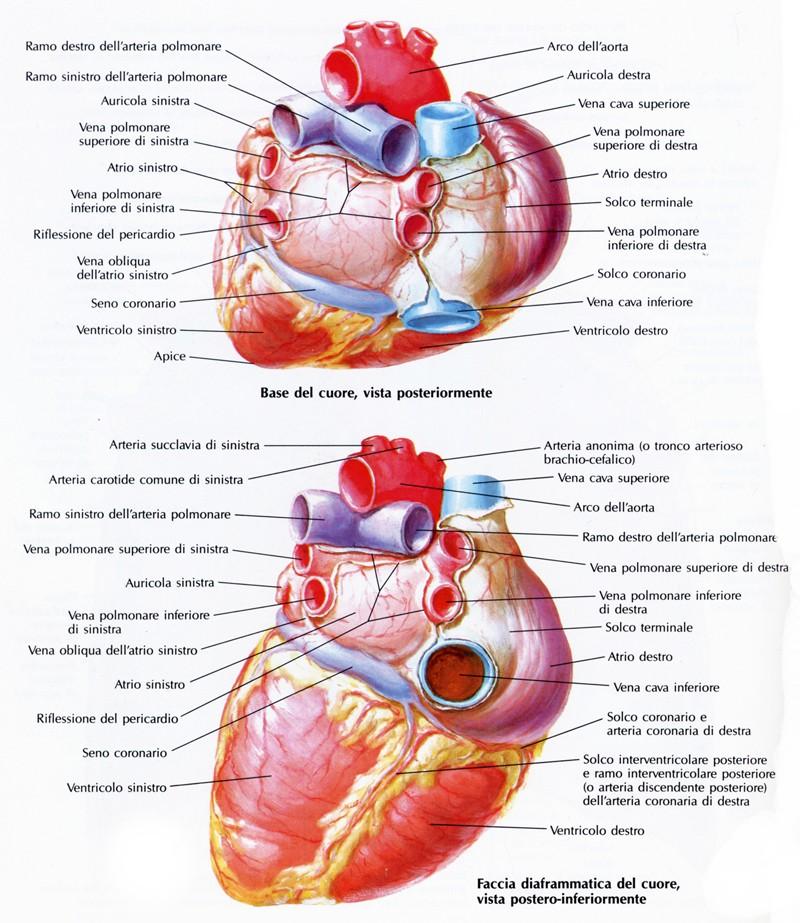 arterie e vene polmonari
