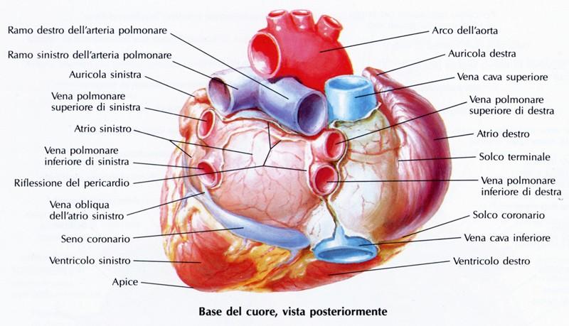 Amato Configurazione esterna del cuore - Medicinapertutti.it IN98
