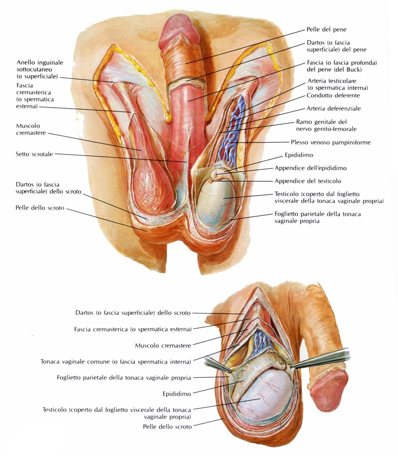 la parte posteriore del pene