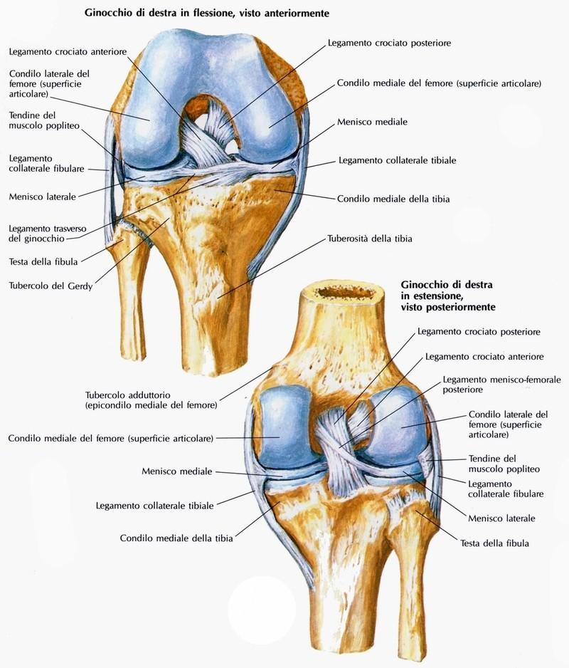 Articolazione del ginocchio - Medicinapertutti.it