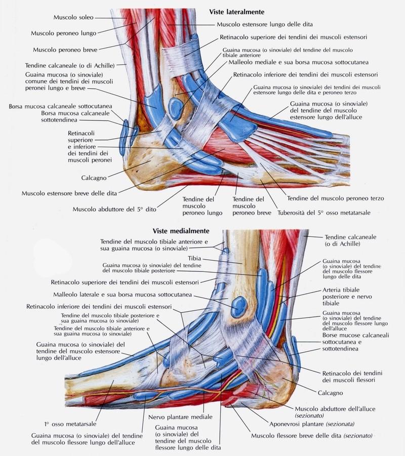 Legamenti del collo del piede - Si porta al collo ...
