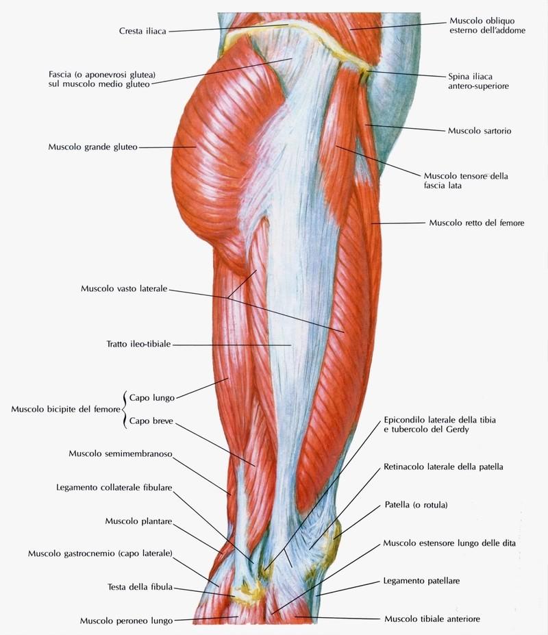 Muscolo Tensore Della Fascia Lata