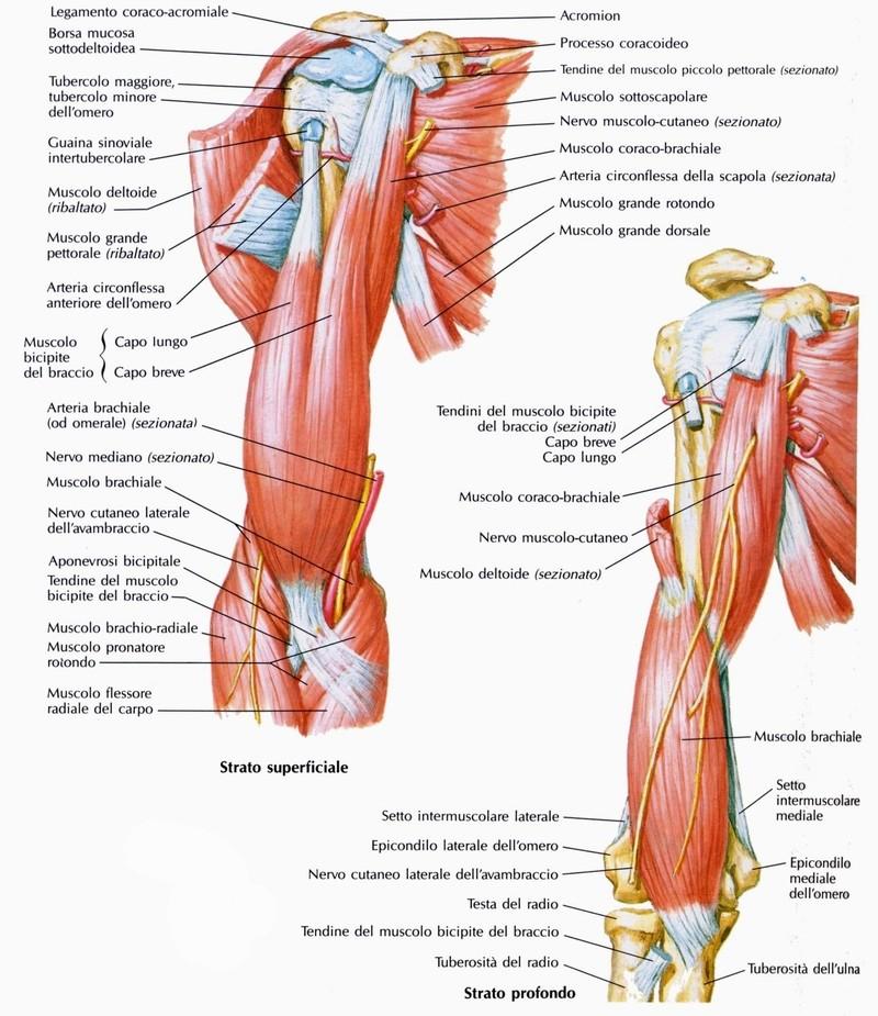 Muscolo bicipite brachiale for Dolore schiena lato destro alto
