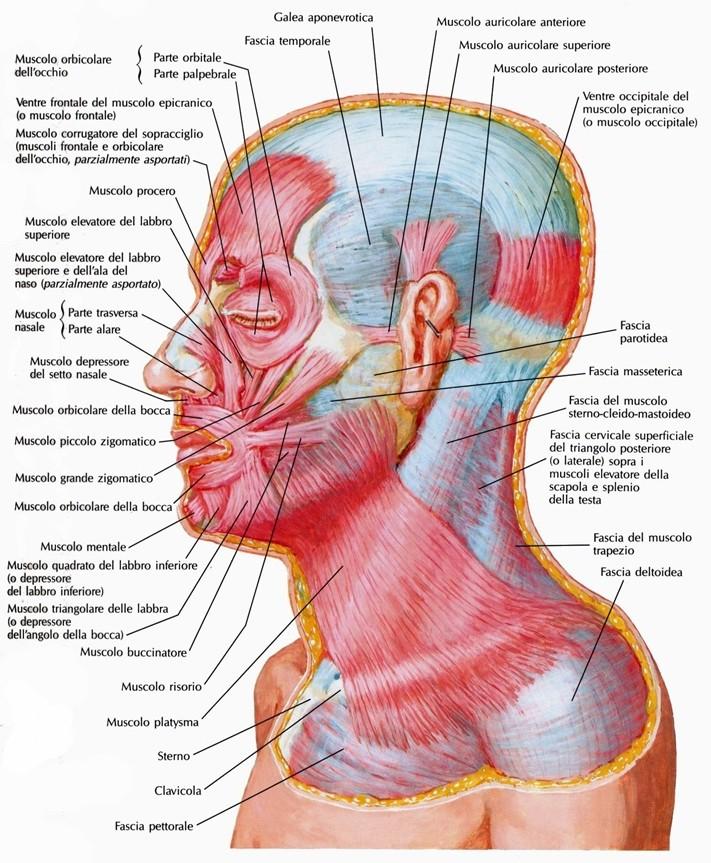Fascia cervicale superficiale del collo - Si porta al collo ...