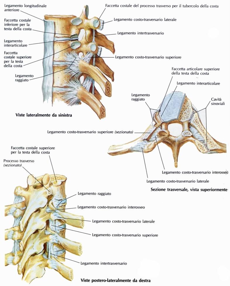 Articolazioni costo vertebrali for Angolo del louis