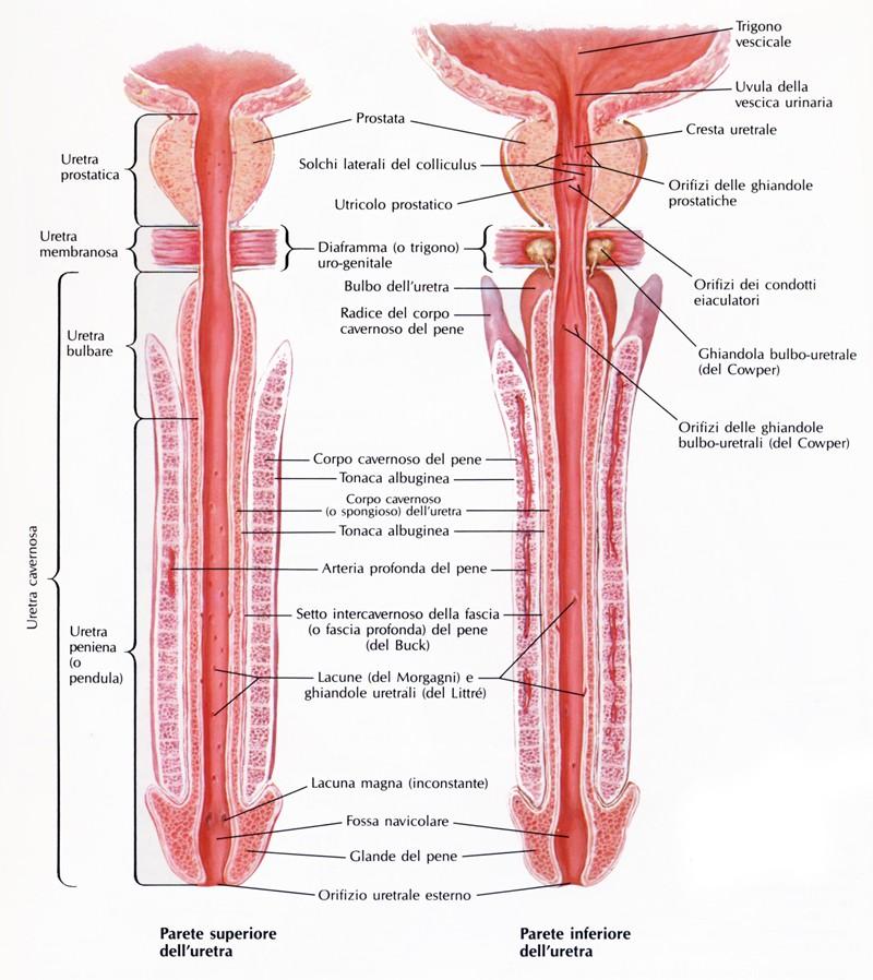 la parte posteriore del pene cadde dopo unerezione