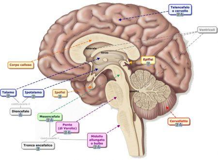 Tronco encefalico (o cerebrale)