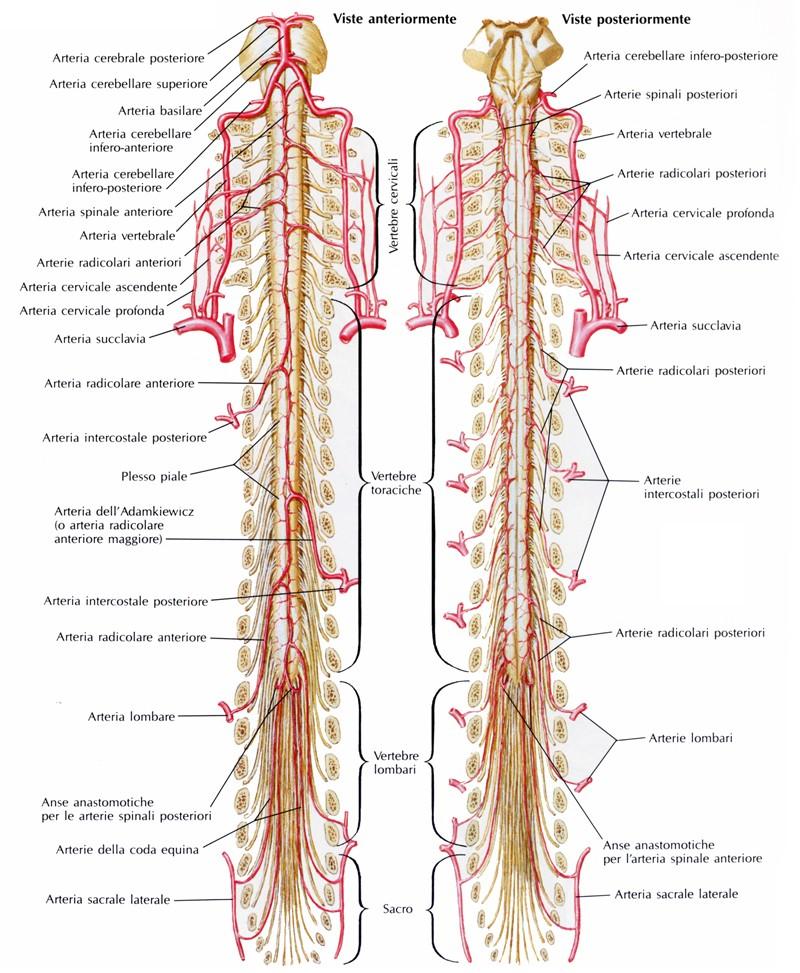 Arterie del midollo spinale - Medicinapertutti.it